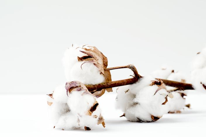 plantes coton